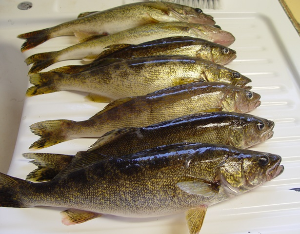 How To Clean Walleye Fish